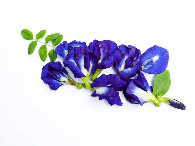 Piles of fresh blue butterfly pea flowers isolated on white.
