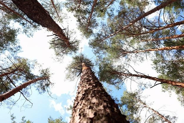 木の枝に下から上への柱松の木の眺め