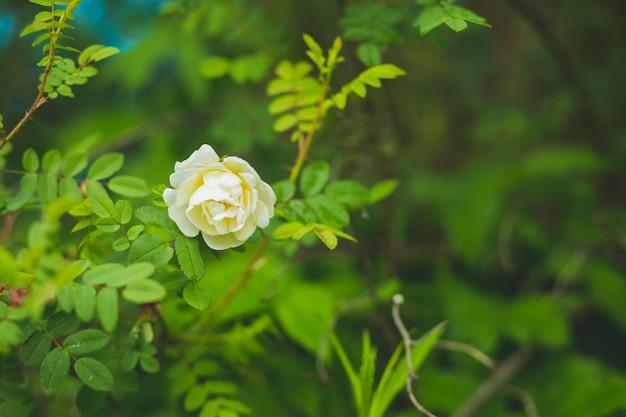 Веточка дикой розы с белым цветком в размытом фоне природы. скотч розового куста. цветок pimpinellifolia rosa. тонированное изображение. копирование пространства. белый дикий нежный куст роз в саду