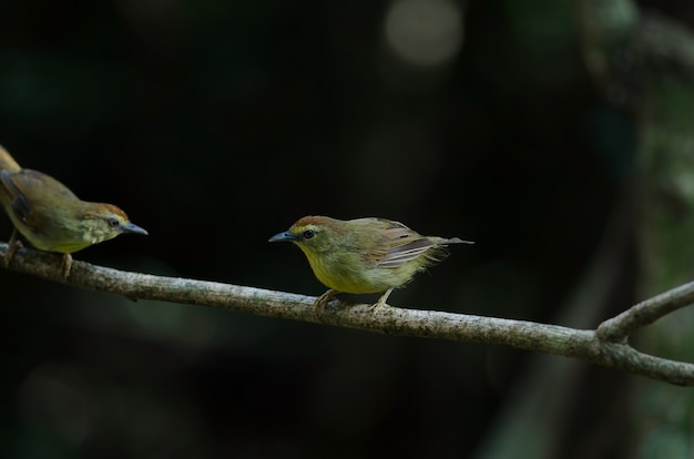 Pin-striped tit babbler in forest thailand