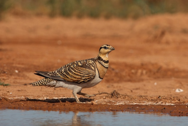 Pin-tailed sandgrouse female drinking in a steppe of aragon, spain, in a pool of water in summer