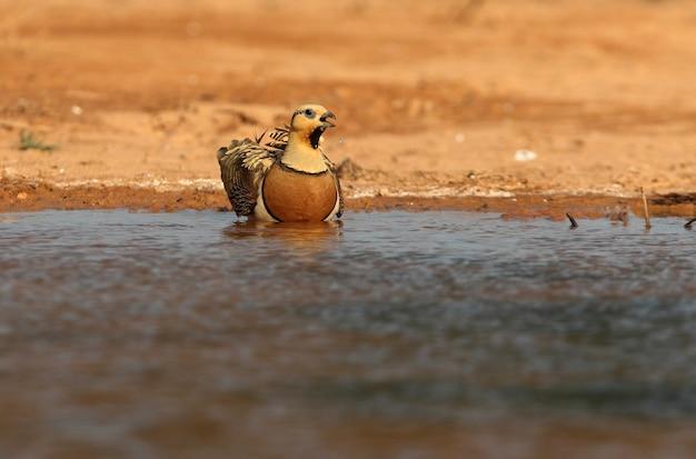 하루의 첫 빛으로 여름에 물 지점에서 마시는 핀-꼬리 sandgrouse 수컷