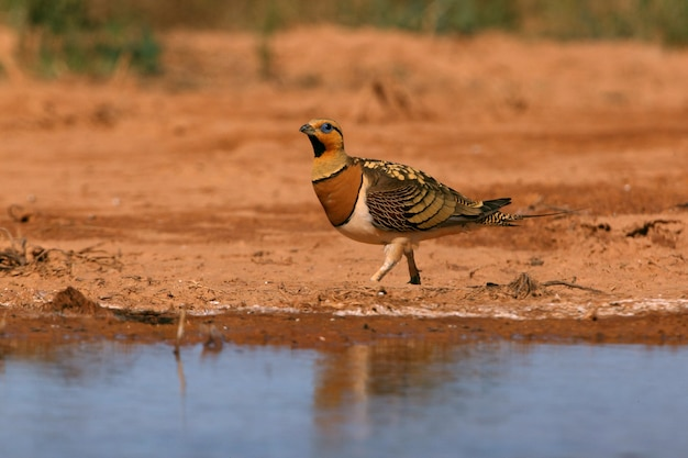 Pin-tailed sandgrouse male drinking in a steppe of aragon, spain, in a pool of water in summer