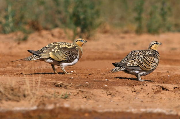 Pin-tailed sandgrouse male and female drinking in a steppe of aragon, spain, in a pool of water in summer
