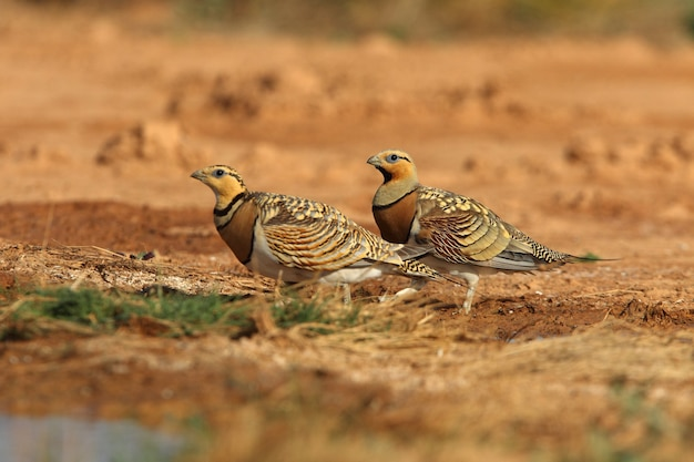 Pin-tailed sandgrouse male and female in a steppe of aragon, spain, in a pool of water in summer