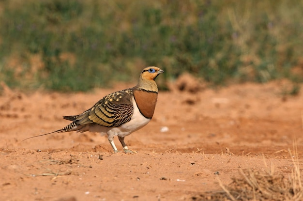 Pin-tailed sandgrouse male in a steppe of aragon, spain, in a pool of water in summer