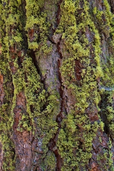 Pine bark with moss on the southern side of a forest of california