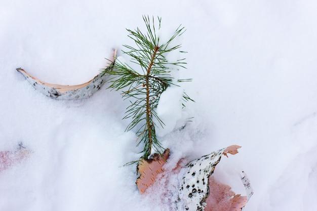 Pine branch and birch bark on white snow