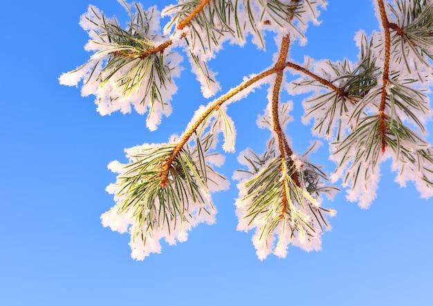 冬の松の枝。針葉樹の長い針は雪と霜で覆われています