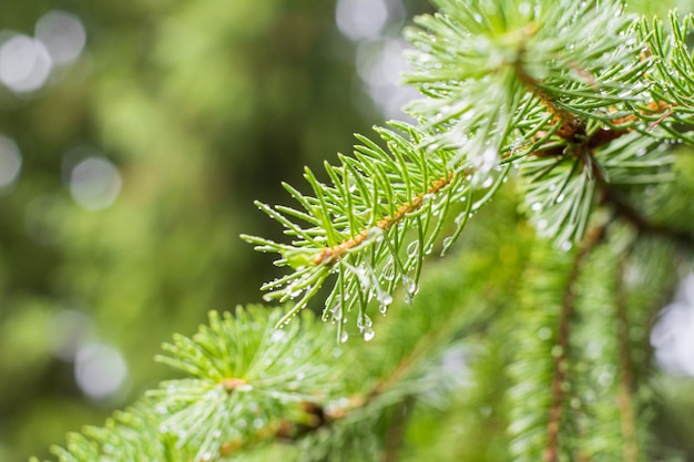 Pine branch on pine tree. pine tree in pine forest. wild nature. greenery. park. outdoor photo.
