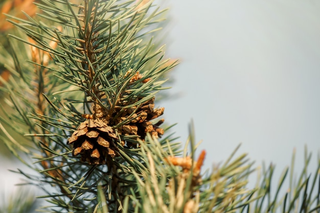 Pine branch with cones close-up. the concept of ecology