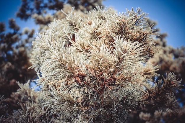 青い空を背景に雪の中で円錐形の松の枝、下からの眺め、フィルター