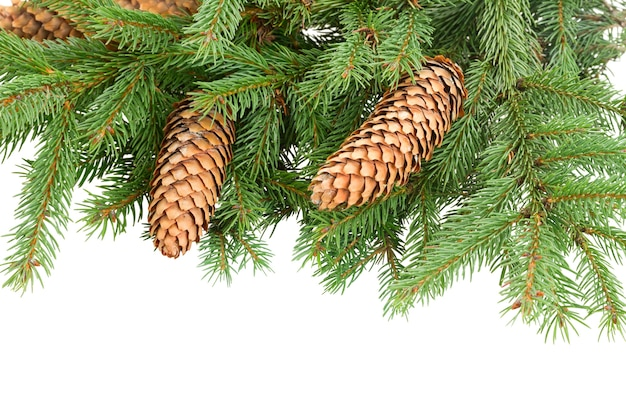 Pine branch with cones isolated over white background
