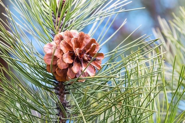 長い針と茶色の円錐形の松の枝