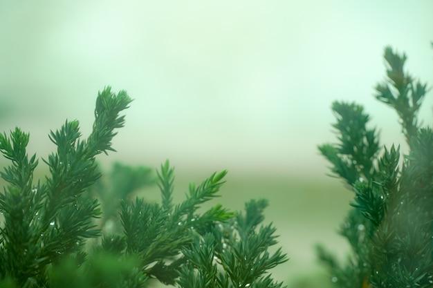 朝の光に対する松の枝 Premium写真