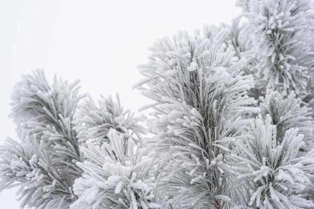 소나무 가지와 바늘은 푹신한 눈으로 덮여 있습니다. 매크로
