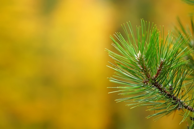 Pine branches on blurred bokeh background
