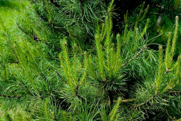 松の枝のクローズアップ背景光。美しい自然の背景。高品質の写真