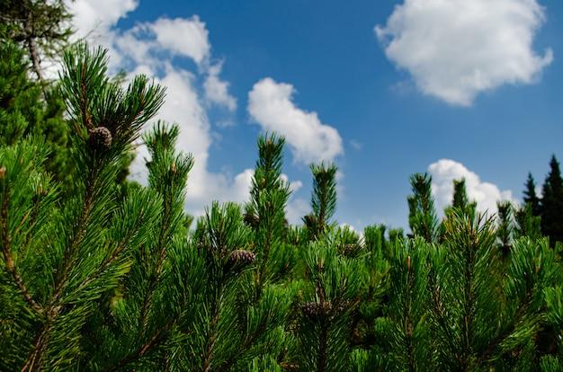 Сосновые ветки перед голубым небом с белыми облаками