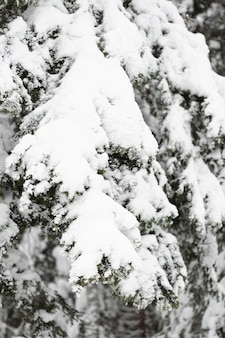 Pine branches and leaves under snow