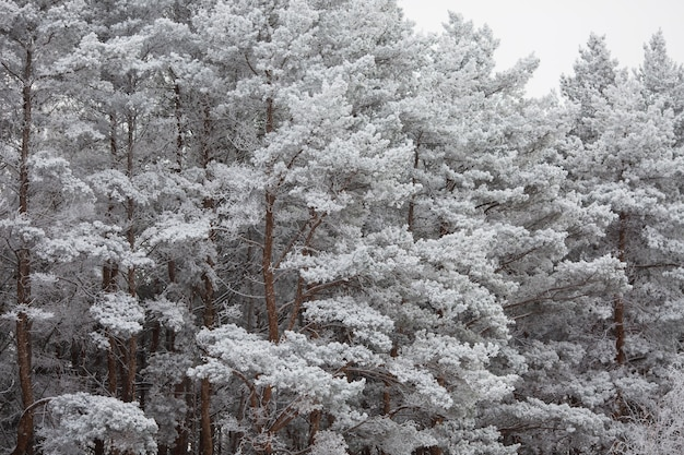 Pine branches under the snow