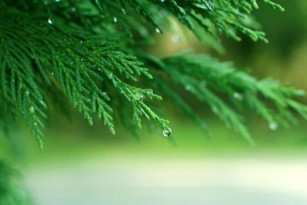 Pine branches with dew