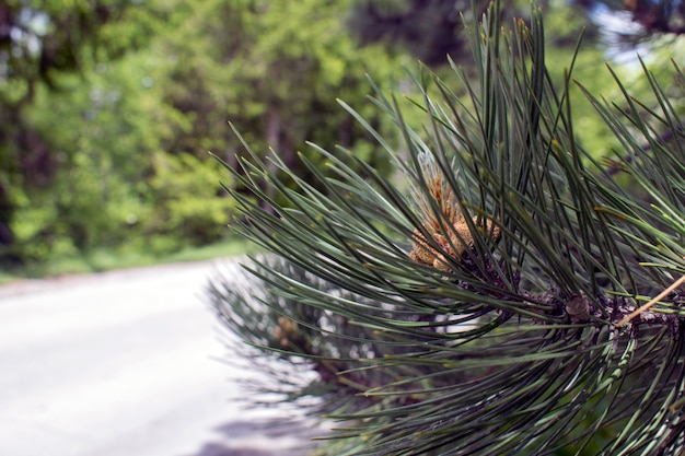 Pine branches with young buds. pine cones iin the bud