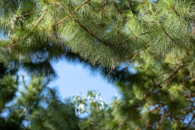 Pine bush texture