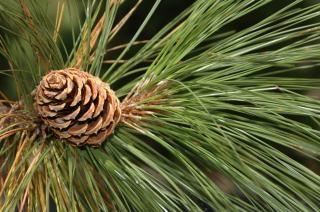 Pine cone, green