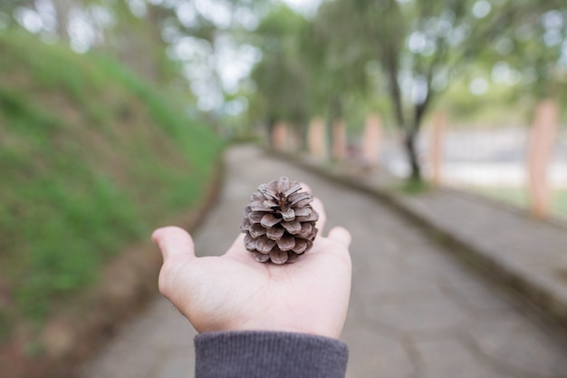 Pine cones fallen on hand in the forest
