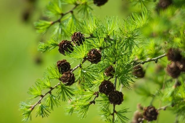 日当たりの良い光線に照らされた枝の松ぼっくり。松の木の茶色の松の円錐形。