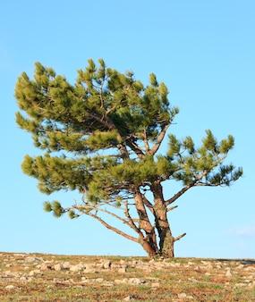 푸른 하늘 배경에 소나무 침 엽 수 나무