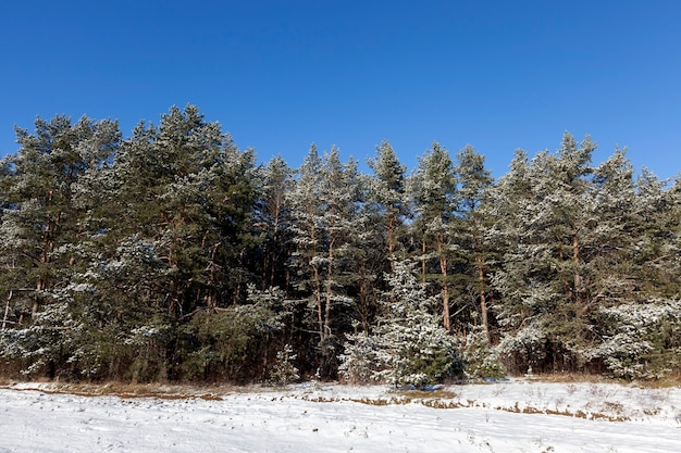 Pine covered with frost. winter time of year,