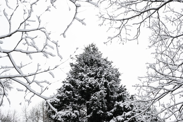 Pine covered with snow in frame of tree branches. bottom view. winter forest