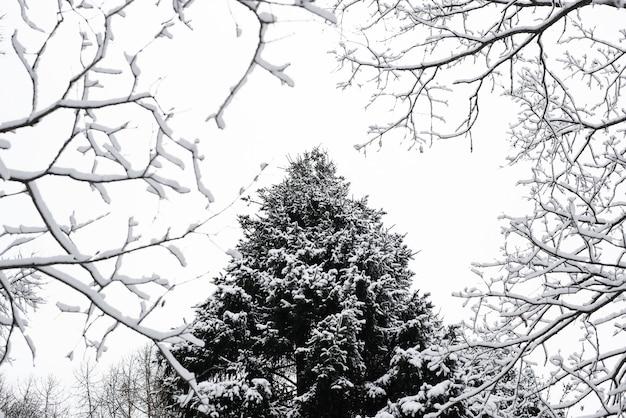 Сосна, покрытая снегом в рамке ветвей деревьев. вид снизу. зимний лес