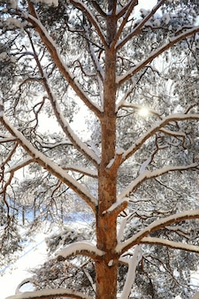화창한 겨울 날 폭설 후 소나무 숲