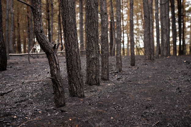 Pine forest after the forest fire