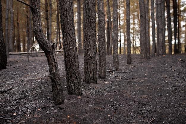 Сосновый бор после лесного пожара