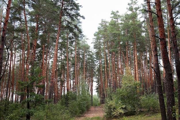 松林と松の木の滑らかな丸太、その間を通る小道