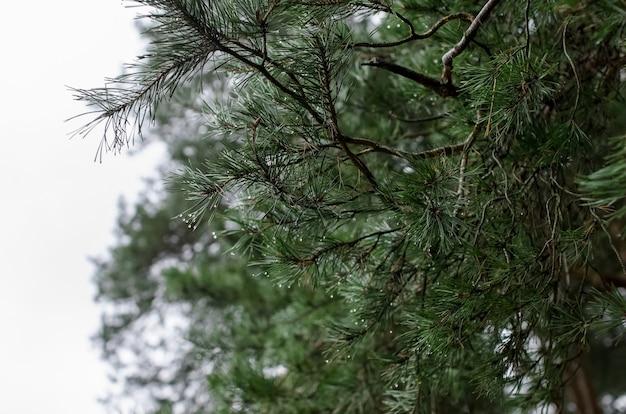 松林の背景。溶けた雪の滴と木の枝のクローズアップ