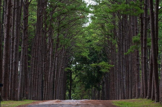Pine forest at bor keaw public park, chiang mai, thailand