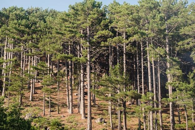 松林針葉樹林針葉樹