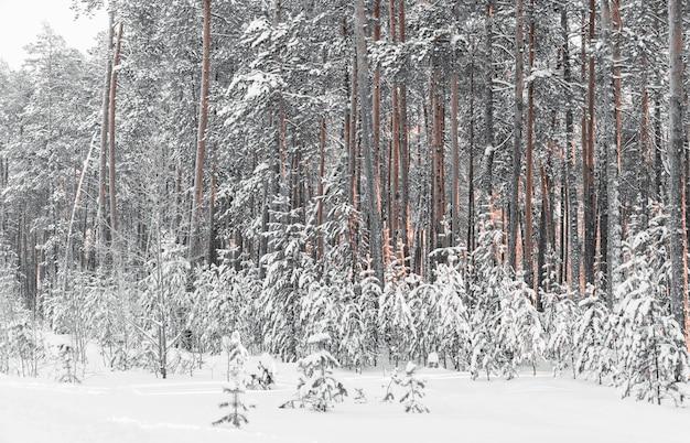 Сосновый лес в снегу зимой.