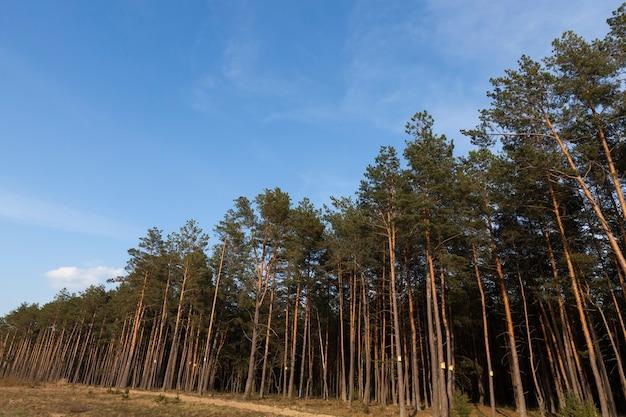 Сосновый бор летом, на некоторых деревьях закреплены деревянные скворечники