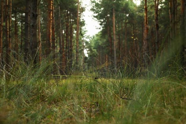 Сосновый бор в чудесный ясный день