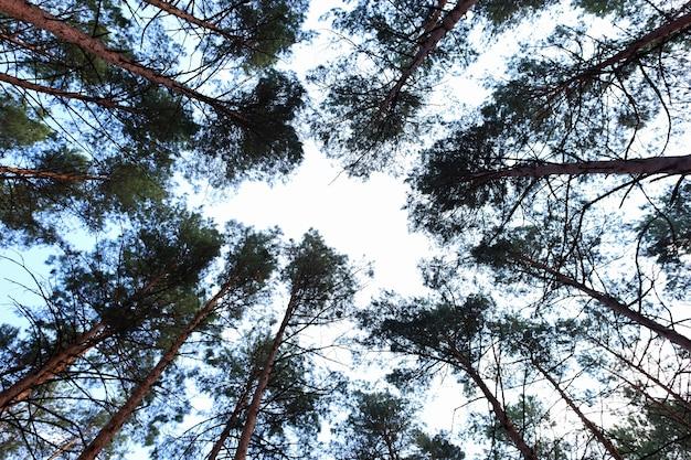 下から上に青空の景色を背景に松林