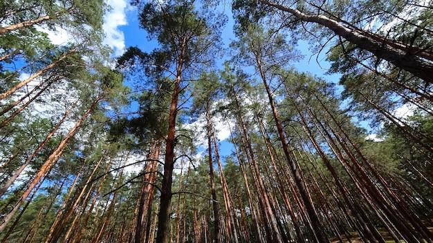 松林の滑らかな柱、松の木が成長し、空に伸びる