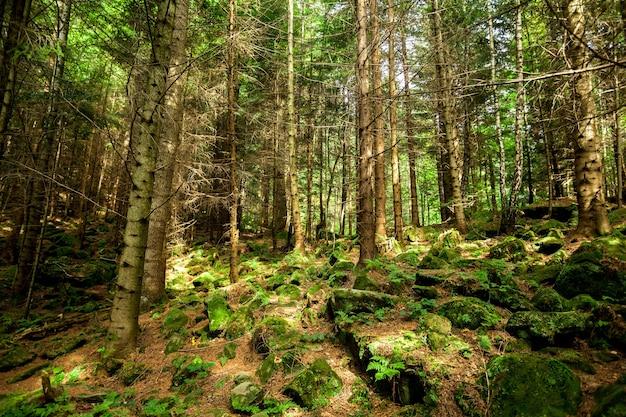 松林の木自然緑の木の日光