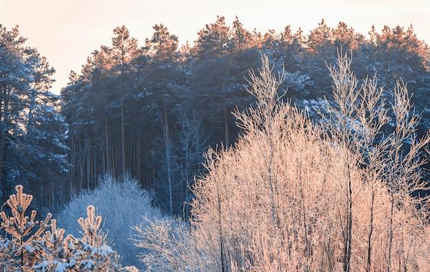 Сосновый лес под зимним снегом вечером. краски сибирской тайги.