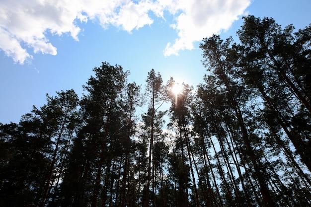 太陽の光が通り抜ける木の枝を下から上に見た松林の眺め